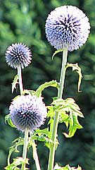 globe thistles - fencing east sussex