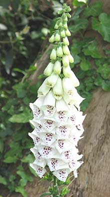 Photo of white foxglove growing in a West Sussex garden
