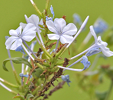 photo of blue leadwort - J M Garg