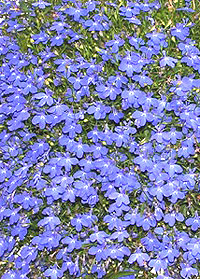Lobelia Flowers Grow Annual And Perennial Varieties