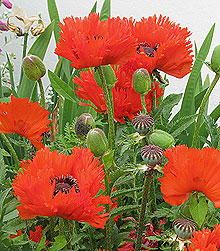 Fringed red oreintal poppy poppies with buds