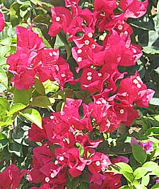 Bougainvillea care of plants and flowers advice crimson bougainvillea a fast growing climber mightylinksfo
