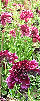 crimson scabious for sale at a garden centre