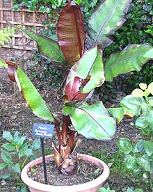 Banana Plants Guide To Growing In Garden Or Greenhouse