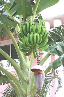 banana plants with fruits and flower in Cuba