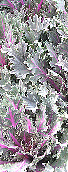 ornamental curly kale