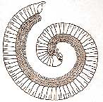 illustration of a millipede curled up