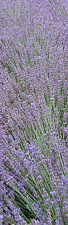 Lavender at kew gardens